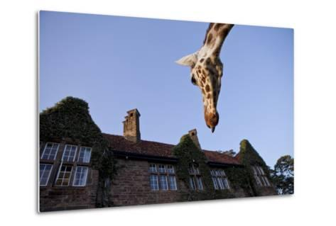 A Rothschild Giraffe Appears to Be Peering Down Upon Giraffe Manor-Robin Moore-Metal Print