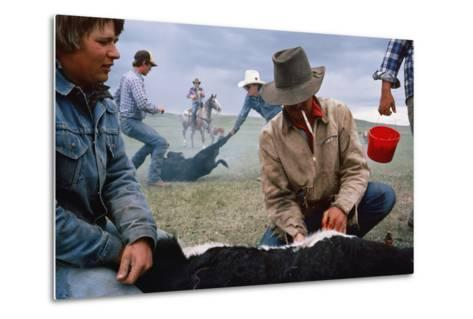 A Cowboy Castrates a Young Calf, While Behind Him Two Others Wrestle a Calf to the Ground.-Sam Abell-Metal Print