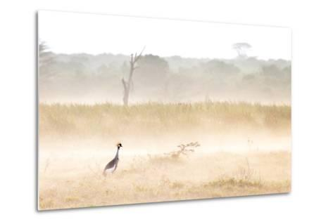 A Crested Crane Stands Out On an Ethereal Misty Morning-Robin Moore-Metal Print