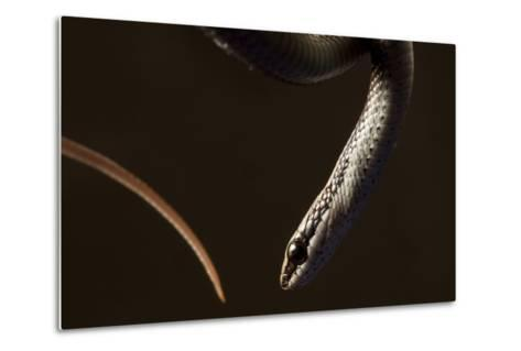 A Hispaniola Lesser Racer Snake, Hypsirhynchus Parvifrons-Robin Moore-Metal Print