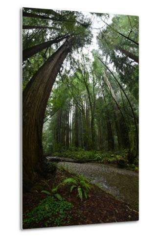 Ferns Line a Path Under a Tree Canopy in Muir Woods National Monument-Raul Touzon-Metal Print