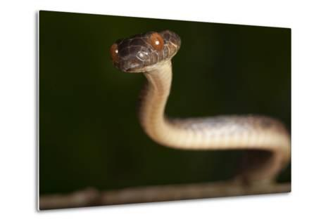 A Cat-eyed Snake, Leptodeira Anulata, in the Choco Forests of Colombia-Robin Moore-Metal Print