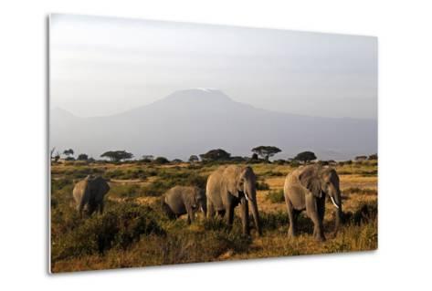 Elephants and Mt Kilimanjaro, Amboseli, Kenya, Africa-Kymri Wilt-Metal Print