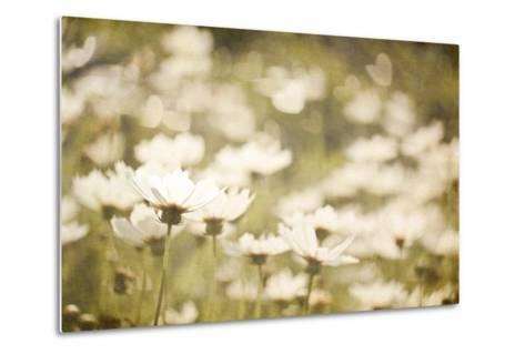 White Daisies--Metal Print