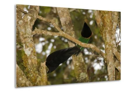 A Male Huon Astrapia Bird of Paradise At a Display Perch-Tim Laman-Metal Print