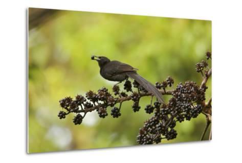 A Female Plumaged Huon Astrapia Bird of Paradise Feeds On Schefflera Fruit-Tim Laman-Metal Print
