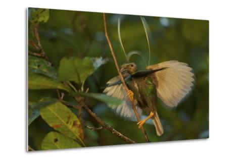 A Male Wallace's Standardwing Bird of Paradise Performs a Display-Tim Laman-Metal Print