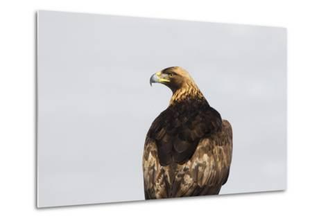 Portrait of a Golden Eagle, Aquila Chrysaetos, Looking for Prey-Robbie George-Metal Print