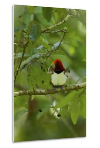 A Male King Bird of Paradise with His Pectoral Fans Extended-Tim Laman-Metal Print