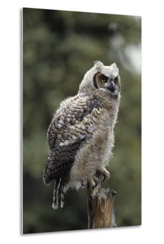 Juvenile Great Horned Owl, Alaska, USA-Gerry Reynolds-Metal Print
