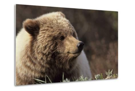 Grizzly Bear, Denali National Park, Alaska, USA-Gerry Reynolds-Metal Print