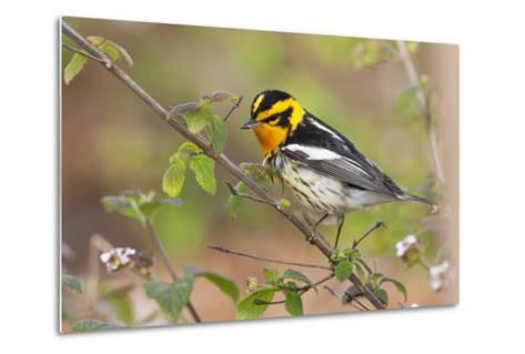 Blackburnian Warbler Bird Adult Male Foraging for Insects in Lantana Garden-Larry Ditto-Metal Print