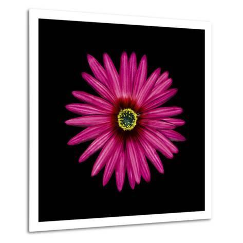 Pink Daisy-JoSon-Metal Print