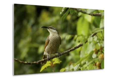 A Paradise Riflebird Perches in a Fruiting Dysoxylum Tree-Tim Laman-Metal Print
