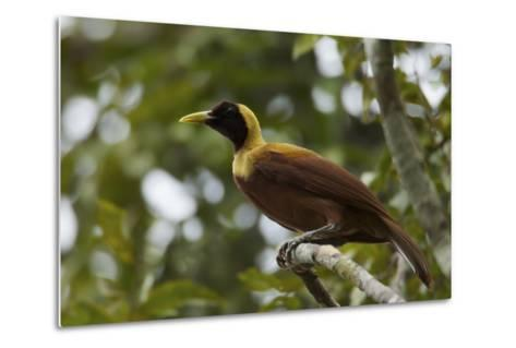 A Young Male Red Bird of Paradise Perches in Mountain Forest-Tim Laman-Metal Print