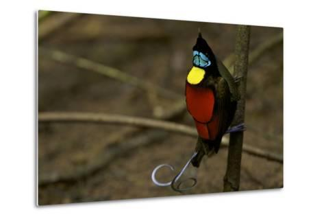 A Male Wilson's Bird of Paradise Performs a Pointing Display Posture On His Main Display Pole-Tim Laman-Metal Print
