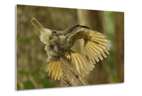 A Young Male Paradise Riflebird Performs a Practice Display-Tim Laman-Metal Print