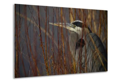 Portrait of a Blue Heron at a Pond-Raul Touzon-Metal Print