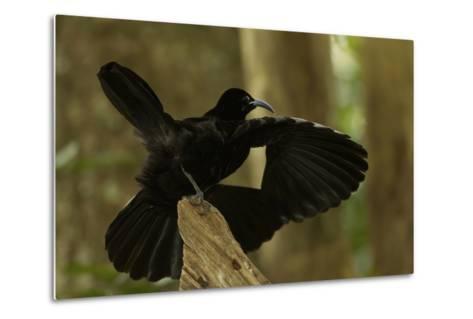 An Adult Male Paradise Riflebird Performs a Practice Display-Tim Laman-Metal Print