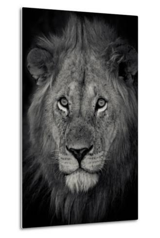 An Adult Lion Sits and Waits for Night to Fall in the Fading Light-Robin Moore-Metal Print