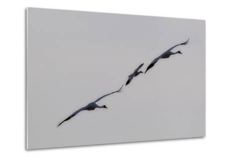 Whooping Cranes, Grus Americana, Flying with An Imprinted Snow Goose-Robbie George-Metal Print