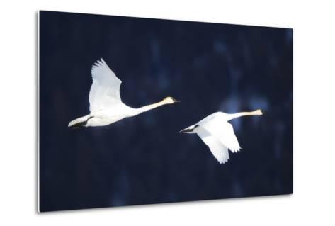 Two Trumpeter Swans, Cygnus Buccinator, in Flight-Robbie George-Metal Print