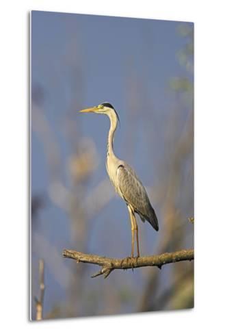 Grey Heron Bird in the Danube Delta, Standing on Willow Tree in Colony, Romania-Martin Zwick-Metal Print