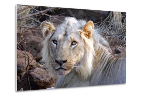 Face of Feeding Lion, Meru, Kenya-Kymri Wilt-Metal Print