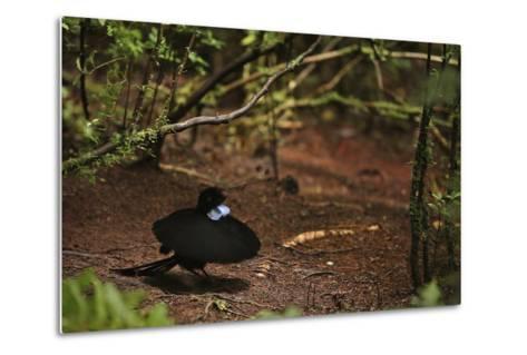 A Male Wahnes's Parotia Bird of Paradise Performs a Ballerina Display-Tim Laman-Metal Print