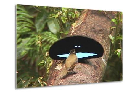 An Adult Male Superb Bird of Paradise Displays to a Female On a Log-Tim Laman-Metal Print