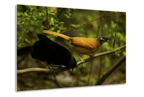 A Male and Female Wahne's Parotia On Perch Above Display Court-Tim Laman-Metal Print