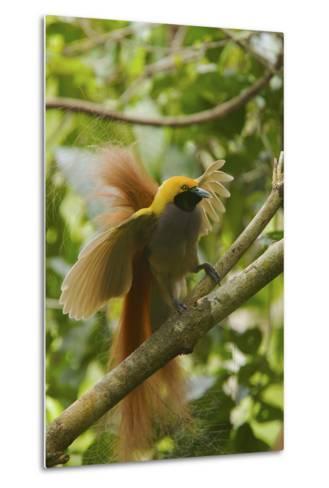 A Goldie's Bird of Paradise Adult Male Performing His Courtship Display.-Tim Laman-Metal Print