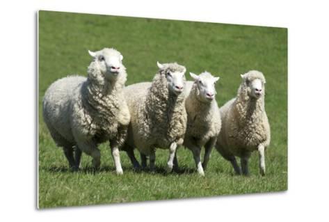 Romney Flock of Sheep, New Zealand-David Noyes-Metal Print