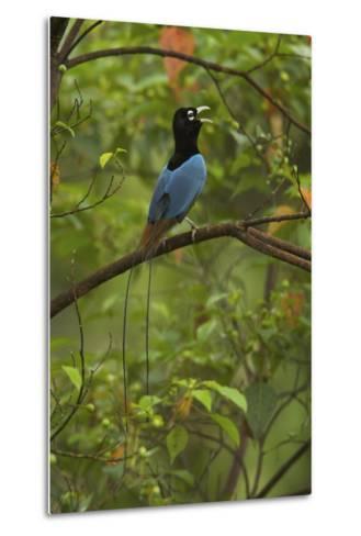 A Male Blue Bird of Paradise Calling-Tim Laman-Metal Print