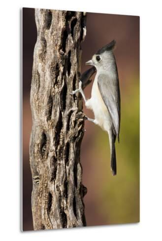 Black-Crested Titmouse Bird Foraging on Cholla Cactus, Davis Mountains, Texas, USA-Larry Ditto-Metal Print