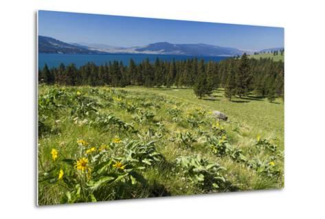 Arrowleaf Balsamroot Blooming on Wild Horse Island State Park, Montana, USA-Chuck Haney-Metal Print