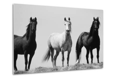 Wild Stallion Horses, Alkali Creek, Cyclone Rim, Continental Divide, Wyoming, USA-Scott T^ Smith-Metal Print