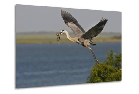 Great Blue Heron (Ardea Herodias) Bird Flying with Nest Material, Texas, USA-Larry Ditto-Metal Print