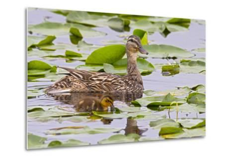 Mallard Duck, Duckling Wildlife, Juanita Bay Wetland, Washington, USA-Jamie & Judy Wild-Metal Print
