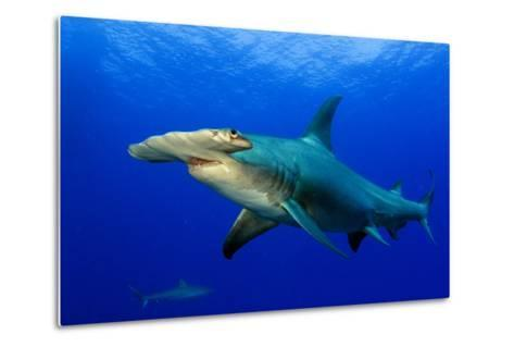 A Great Hammerhead Shark and a Caribbean Reef Shark in the Background-Jim Abernethy-Metal Print