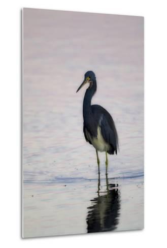 Portrait of a Tricolored Heron, Egretta Tricolor, Walking in Water-Robbie George-Metal Print