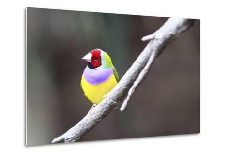 A Gouldian Finch Sits on a Tree Branch-Jill Schneider-Metal Print