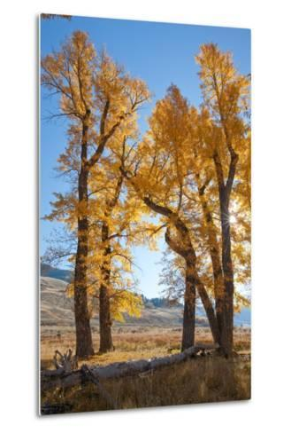 Backlit View of Cottonwood Trees with Autumn Foliage-Tom Murphy-Metal Print