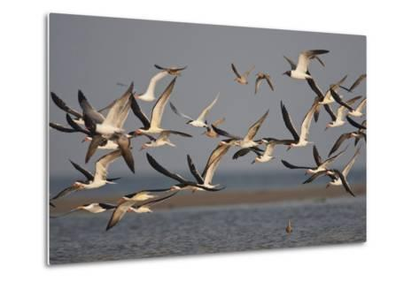 Black Skimmers, Bird on the Laguna Madre, Texas, USA-Larry Ditto-Metal Print