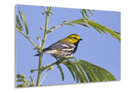 Black-Throated Green Warbler, Bird, Male Perched-Larry Ditto-Metal Print