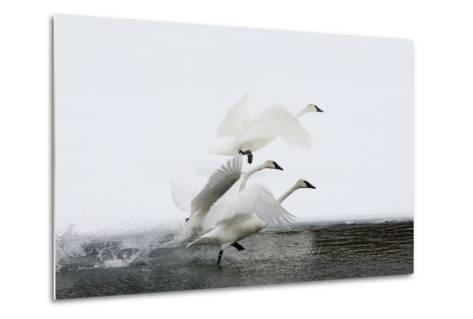 Trumpeter Swans Take Flight-Tom Murphy-Metal Print