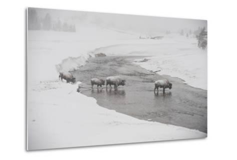 Bison Crossing the Firehole River in a Snowstorm-Tom Murphy-Metal Print