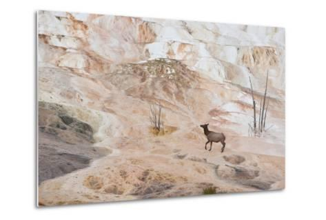 An Elk Cow at Canary Spring-Tom Murphy-Metal Print