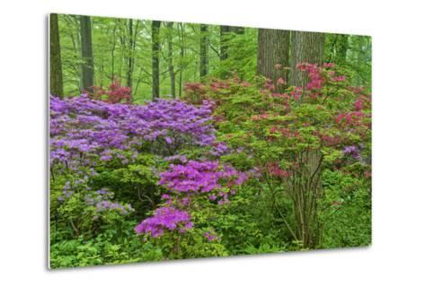 Blooming Azaleas in Forest, Winterthur Gardens, Delaware, USA--Metal Print