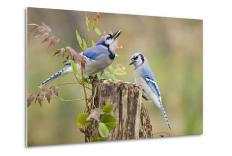 Blue Jay Bird, Adults on Log with Acorns, Autumn, Texas, USA-Larry Ditto-Metal Print